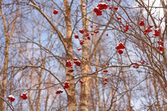 Rowan berries on winter branches Royalty Free Stock Photos