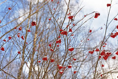 Rowan berries on winter branches Stock Photos