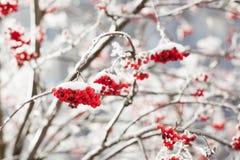Rowan berries at winter. Rowan berries covered in snow at winter royalty free stock image