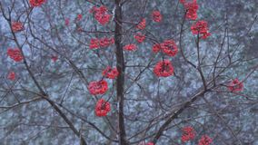 Rowan berries in winter. A heavy snowfall falls asleep with snow red berries of mountain ash on the tree stock footage