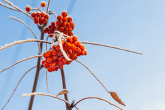Rowan berries in winter hoarfrost. On blue sky background Royalty Free Stock Photos