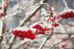 Rowan berries at winter. Rowan berries covered in snow at winter Royalty Free Stock Photos