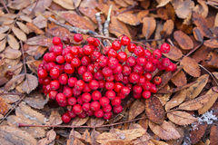 Rowan berries on the withered autumn leaves Royalty Free Stock Photo
