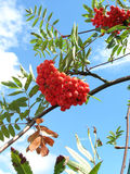 Rowan berries1. Clusters of rowan berries set against blue sky Stock Photos