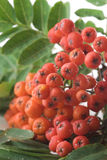 Rowan Berry Royalty Free Stock Photo