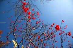 Rowan berry Stock Photography