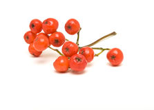 Rowan berry Royalty Free Stock Image