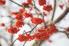 Rowan-berry. In snow on white background - close-up shot Stock Photo