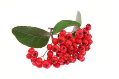 Rowan berry Stock Image