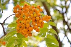 Rowan berry. Royalty Free Stock Photo