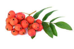 Rowan berry branch. Closeup. Royalty Free Stock Photo