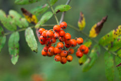 Rowan Berry Stock Photography