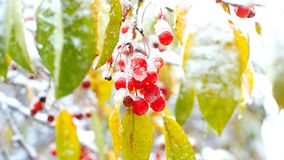Rowan berry cluster seen through snowy colorful leaves. Close fantastic view rowan red berry cluster seen through yellow and green leaves covered with wet snow stock video footage