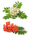 Rowan berry and flowers. (mountain ash, Sorbus aucuparia) on a white background Stock Photo