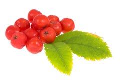 Rowan berry on isolated Stock Photos