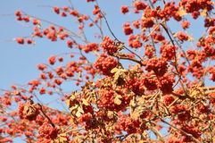 Rowan berry in the late autumn on a background of blue sky Royalty Free Stock Image