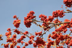 Rowan berry in the late autumn on a background of blue sky Stock Photography