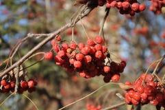 Rowan berry in the late autumn Stock Photos
