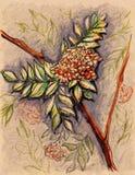 Rowan berry leaf branch vintage craft sketch Stock Photos