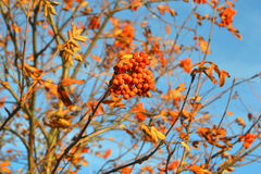 Rowan berry. Mountain ash on a background of sky macro vitamins stock photos