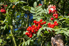 Rowan berry, mountain ash Royalty Free Stock Photos