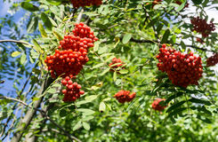 Rowan berry, Mountain ash. (Sorbus aucuparia) tree with ripe berries. Horizontal image Stock Photo