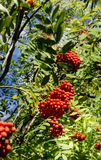 Rowan berry, Mountain ash. (Sorbus aucuparia) tree with ripe berries. Vertical image Royalty Free Stock Photos