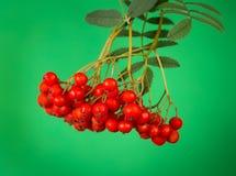 Rowan berry Royalty Free Stock Photography