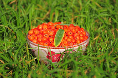 Rowan berry. Royalty Free Stock Photography