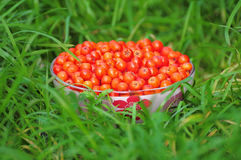 Rowan berry. Royalty Free Stock Images