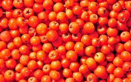 Rowan berry. Stock Images