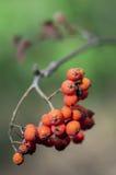 Rowan berry Stock Photos