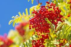 Rowan berry. With ripe fruits on a blue sky stock photo