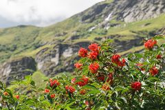 Characteristic and showy small mountain tree with red berries. Sorbus aucuparia, commonly called rowan and mountain ash. Rowan berry small tree photographed on Royalty Free Stock Photography