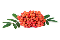 Rowan berry Sorbus aucuparia on white background Stock Images