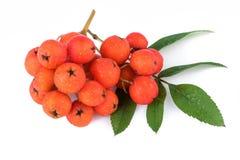 Rowan berry (Sorbus aucuparia) on white Stock Photo