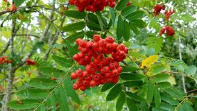 Rowan-berry. Tree in autumn colors stock photo