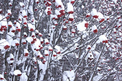 The rowan berry tree covered with snow and hoarfrost. Fairy winter landscape Stock Photo
