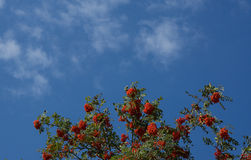 Rowan berry tree. In front of blue sky Stock Photography