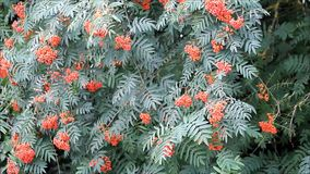 Rowan berry on tree. In the nature, Sorbus aucuparia stock footage