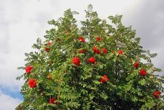 Rowan berry tree. Stock Photos