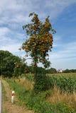 Rowan berry Royalty Free Stock Photo