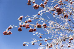 Rowan berry tree Stock Image