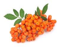 Rowan berry. On white stock images