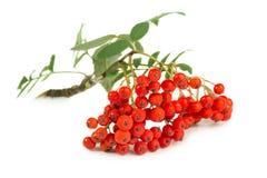 Rowan berry Royalty Free Stock Image