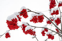Rowan berry in winter. Rowan berry mountain ash, Sorbus aucuparia in winter with snow Stock Image