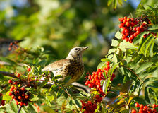 A rowan and bird Stock Image