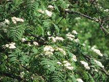 Rowan in bloom in spring stock photos