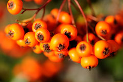 Rowan branch Royalty Free Stock Photography