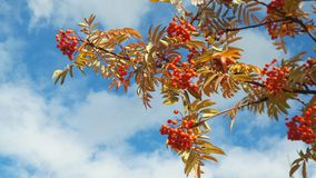 Rowan branch against the blue sky with light clouds stock image